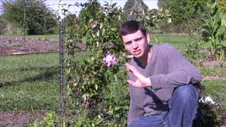 Clematis Care Tips: Step-By-Step Gardening