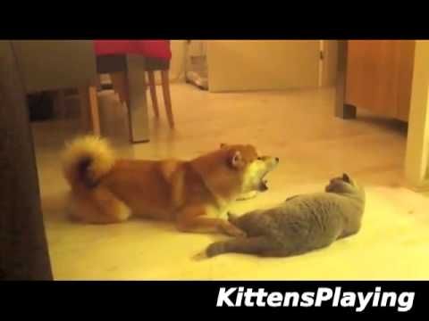 Dog Meows At Cat - Cat Not Impressed