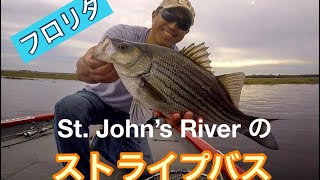 St Johns River.Hybrid Striped Bass フロリダ ストライプバス