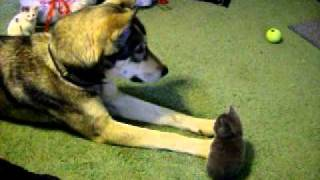 Wolfdog with 5 week old kittens