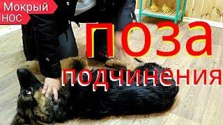 Поза подчинения собаки. КАК ПРАВИЛЬНО ложить собаку в позу подчинения