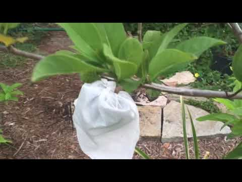 Growing Sugar Apples  Top Choice For Your Garden