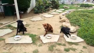 台灣犬吃早餐.