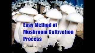 Easy Method of Mushroom Cultivation Process