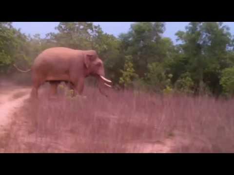 Wild Elephant show in jhargram(kalaboni)