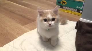 おやつが欲しくて悲しげに鳴く猫 マンチカン