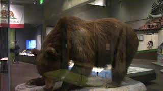California Grizzly Bear, State Animal  Oakland Museum of California カリフォルニアハイイログマ 州の動物