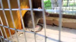 Box Trap Catches Rat And Squirrel!