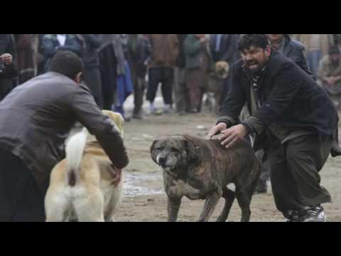 Senado aprueba penalizar las peleas de perros