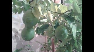 Мои домашние цветы, лимоны, кактусы
