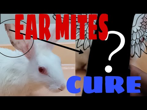 RABBIT EAR INFECTION / SOLUTION AND REASON_ALPHA RABBITS.