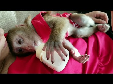 Monkey Baby Nui   NUI is very happy, Parents love Nui very much