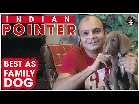 Indian Pointer (The Family Guard and Watch Dog Breed) || English Pointer || DYFF || Baadal Bhandaari