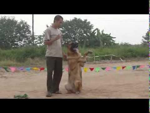 Hình ảnh luyện tập GSD của CLB GSD Hà Nội(08/08/10)