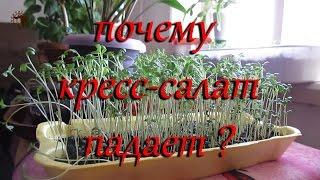 Кресс-салат. Почему падает кресс-салат?  Выращивание на подоконнике.