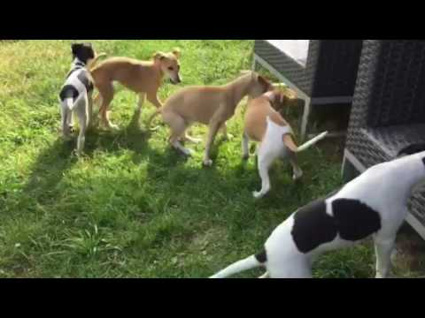 Whippet Puppies - 9 Weeks Old