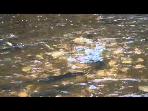 Bronte Creek Salmon Run