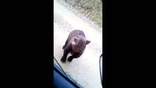 Медведь попрошайничает как собака на дороге