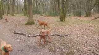 Is this the biggest stick carried by a dog?