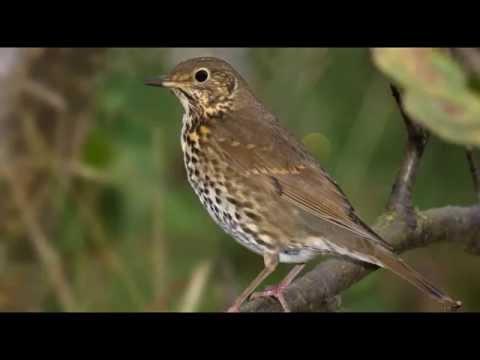 Song Thrush Bird Call Bird Song