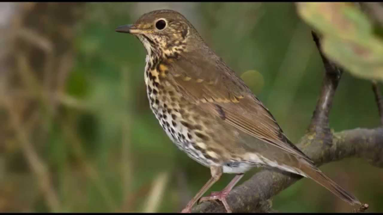 song thrush mp3 free download