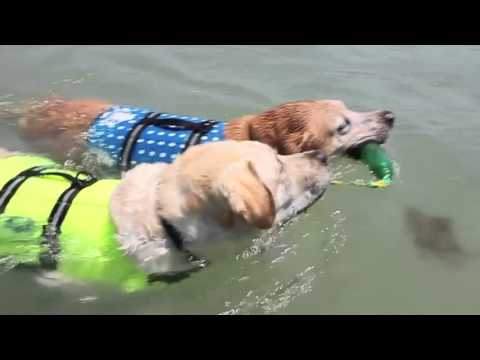 Yellow Lab swimming with a lifejacket - iboats.com