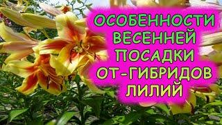 Лилии ОТ-гибриды посадка весной. Особенности ОТ-гибридов лилии. Как посадить от-гибридные лилии.