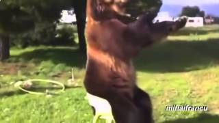 Bears Acting Like Humans Compilation