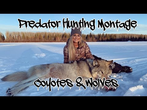 Predator Hunting: Coyotes and WOLVES
