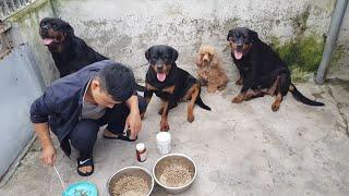 Bữa Ăn Chó R๐tt Trại Chó Rottweiler Gervi: Thức Ăn Hạt Khô