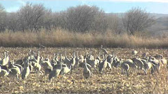 Living Here - Hatch Valley Sandhill Cranes