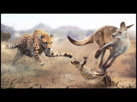 Esta es la razón por la que el canguro abandona a su bebé a los depredadores