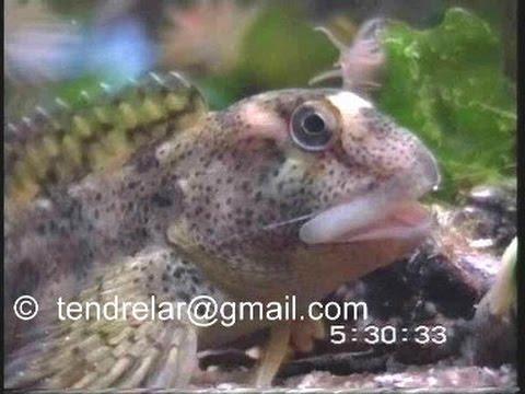 Aquarium marin : la respiration de la blennie (expérience)