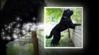 Собаки породы Русский чёрный терьер!