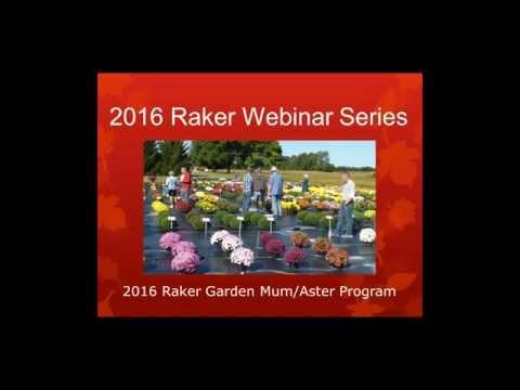 2016 Raker Mum Aster Daisy Program