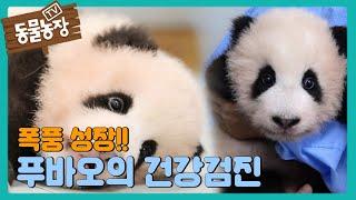 ★폭풍 성장★ 아기 판다 푸바오의 건강검진! I TV동물농장 (Animal Farm) | SBS Story