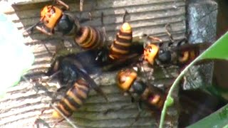 Giant hornets attacked beehive   Oh my god!