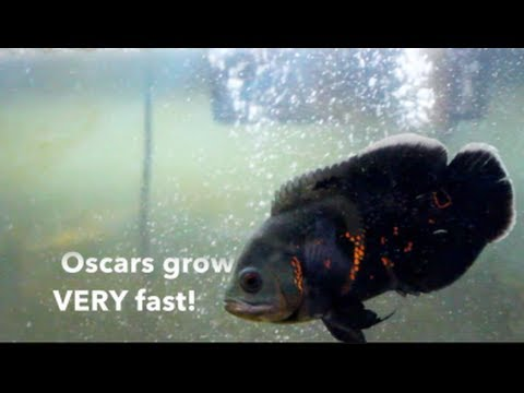[HD] Complete Oscar Fish Care Guide