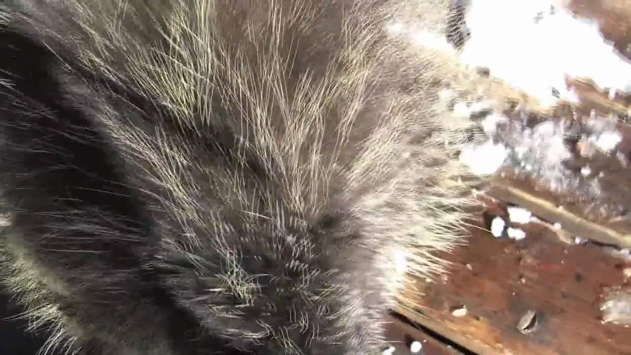 Porcupine feeding bite beano 39 s cabin beaver creek co youtube for Beano s cabin beaver creek