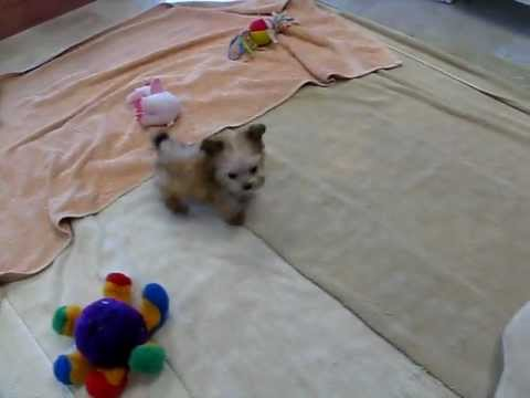 Micro Teacup Morkie Puppy Yorkshire Terrier And Maltese Mix Youtube