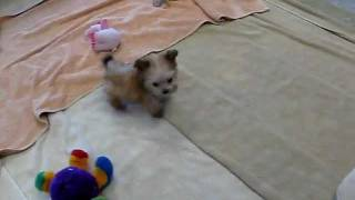 Micro Teacup Morkie Puppy - Yorkshire Terrier And Maltese Mix