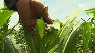 В Таиланде «армейские черви» уничтожают поля кукурузы