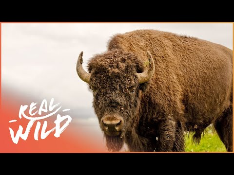 Buffalo In The House! | Animal Odd Couples | Wild Things Shorts