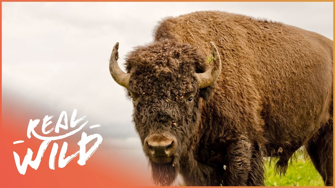 Animal Odd Couples Youtube buffalo in the house! | animal odd couples | real wild shorts