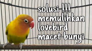 solusi memulihkan lovebird macet bunyi