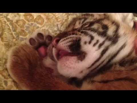 Sleeping Tiger Cub, Kali, Could Be The Cutest Napper Ever (VIDEO)
