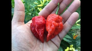 Red Savina Habanero