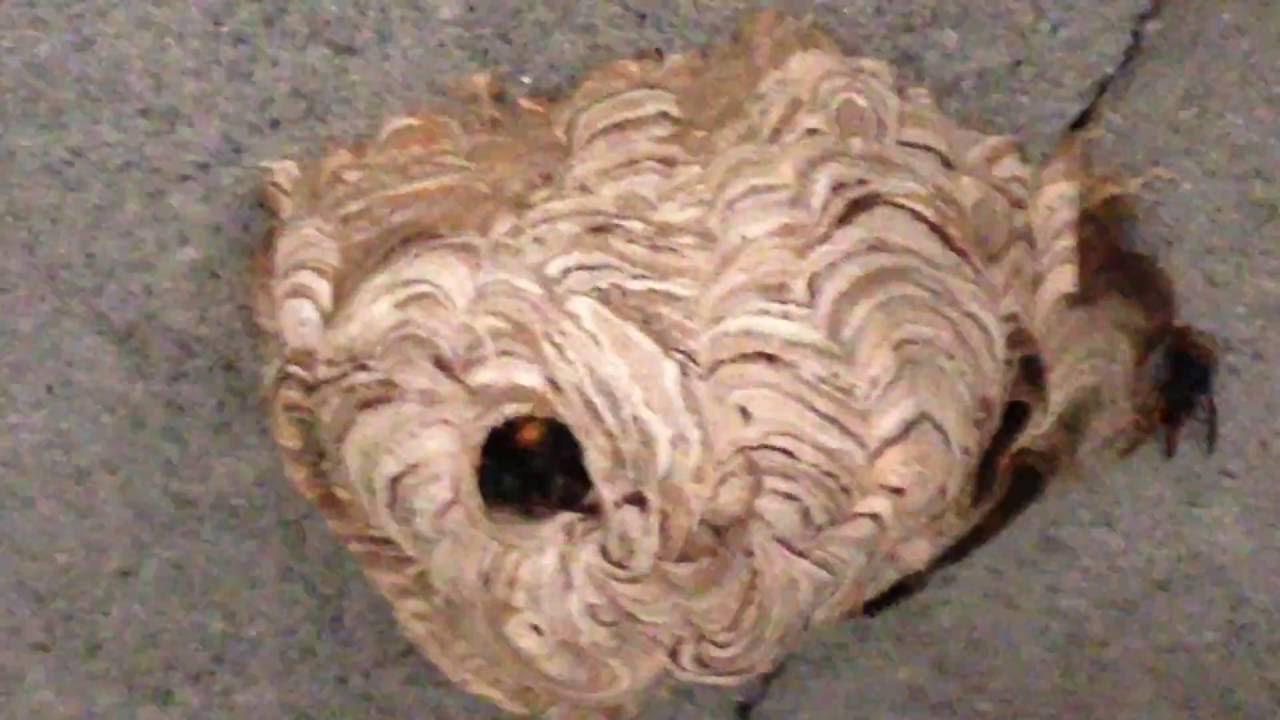 enlever un nid de guepe perfect ces astuces et remdes pour lutter contre les gupes frelons et. Black Bedroom Furniture Sets. Home Design Ideas