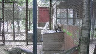 Лисицы спаривались в минском зоопарке.(группа вконтакте: http://vk.com/pgshelp1 сайт: https://sites.google.com/site/na5balov заказать работу: ..., 2014-07-23T16:20:25.000Z)