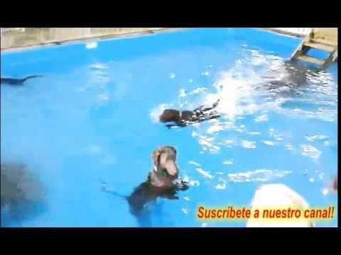 Perro en el agua gracioso ¿nadando?